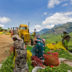 On way to Kolukkumalai (Kris Kumar) Tags: trip vacation leaves women tea may myfav kerala fresh plantation worker 2008 teaplantation southindia munnar tealeaf idukki kolukkumalai dailywage canon40d keralatrip2008 howteaismade howteaismanufactured