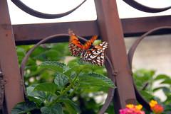Ecuador_20090328113008 (_Wayfarer) Tags: butterfly butterflies animalsmating