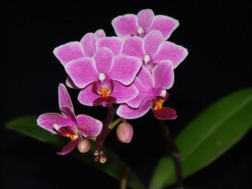 Phalaenopsis Be Tris x Zuma Pixie