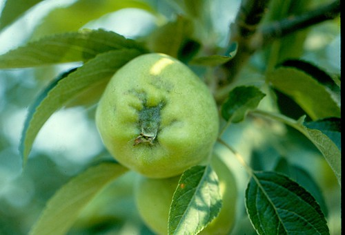 Quince rust causes deformed fruit at the calyx end. Photo courtesy of Henry W. Hogmire, West Virginia University.