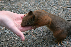 Greetings, Tree-rat. (Tomi Tapio) Tags: iso800 helsinki squirrel feeding fingers ears whiskers orava paws claws handout cureuil seurasaari sciurusvulgaris sqrl eurasianredsquirrel kurre canonef90300mmf4556usm