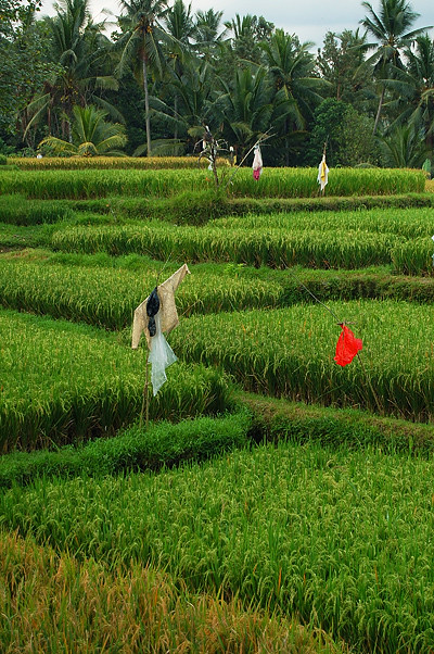 _Bali_rice_field_7_