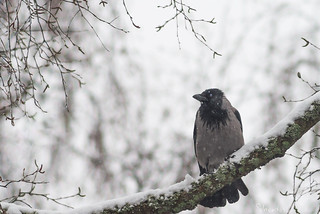 Crow in a snowfall