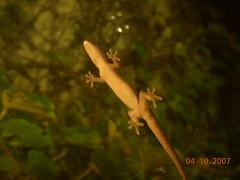 gecko (J A X) Tags: window gecko cupule