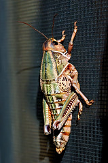 A Purge on the Purg (Fort Photo) Tags: macro nature insect colorado grasshopper seco orthoptera 2007 naturesfinest brachystolamagna supershot colorphotoaward impressedbeauty southeastcolorado mackbunkhouse brachystolamagnagirard