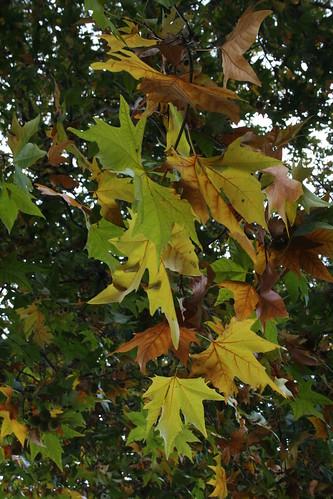 Horse Chestnut Tree Leaves