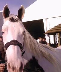 occhi di ghiaccio (roberto_il_pisano) Tags: horses white eyes cowboy occhi verona western cavalli bianco 2007 monta corsa fiera ghiaccio asini ippica equitazione carrozze