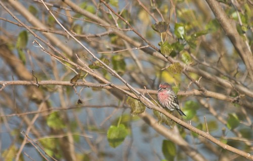 The Lone Male House Finch