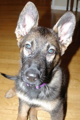 German Fruit Bat (cwgoodroe) Tags: dog color cute fall home tongue closeup ball puppy oakland furry puppies shepherd teeth watching guard fluffy ears canine running run german floppy cuddle stick chew gnaw germanshepherd attention ran trot guarding k9 observant gsd cutepuppy alet sephard germanshepherdeyes
