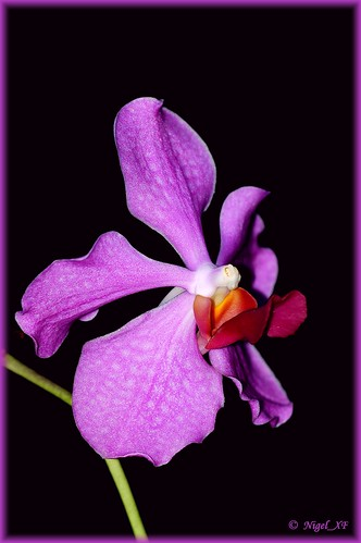 Orchid from Mindanao, CDO by nigel_xf.