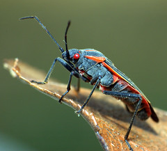 Eastern Boxelder - Boisea trivittata (ScreaminScott) Tags: fab macro bug insect nikond70s redeye flickrsbest boiseatrivittata specanimal animalkingdomelite platinumphoto anawesomeshot colorphotoaward easternboxelder specinsect theunforgettablepictures lesteradine105mmf28 alittlebeauty