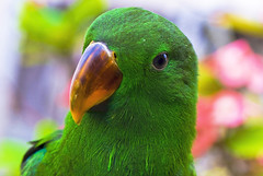 Eclectus (matey_88 ( OFF )) Tags: green bird nature colours photographer excellent awards majid maldives matey soe mohamed eclectus watcher naturesfinest supershot mywinners abigfave flickrdiamond uniquemaldives brillianteyejewel simplymaldives betterthangood
