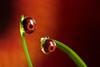 What was that ? dewdrop refraction #4 (Lord V) Tags: flower macro water pareidolia dewdrop gerbera refraction mywinners macrolife