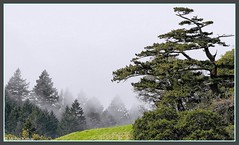 Wind Sculpted (Michel Mintaka) Tags: trees green fog landscape japanese windswept mysterious mttam tamalpais