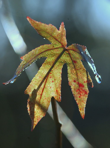 Liquidamber leaf