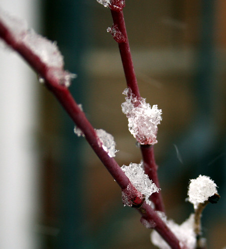 Theresa Bugnet rose branches covered in snow