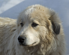 Wise Mouse (Flint-Hill (away)) Tags: dog mouse 300mm greatpyrenees patou supershot notsharpened livestockguardiandog afternoonsunsidelighting overheadskylight 2585filter itjustcameoutsharp