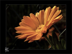 Feliz semana (Paco CT) Tags: flower yellow flor amarillo 2008 vegetal ltytr2 ltytr1 pacoct