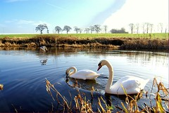 The swans are back !! (Nicolas Valentin) Tags: reflection bird nature wonderful scotland swans breathtaking waterway impressedbeauty aplusphoto d40x 1nv