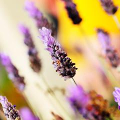 Signs Of Spring 2 (nikumaru) Tags: flower macro colors nikon dof bokeh lavender nikkor  d300 60mmf28dmicro 500x500