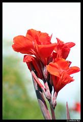 Flower (Snehansu Roy) Tags: california flower losangeles arboretum rebelxt tamron70300mm snehansu arboretumoflosangeles snehansuroy