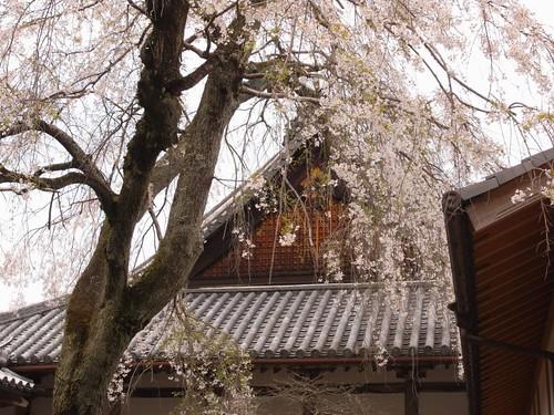 当麻寺(桜)-11