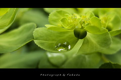 Waterdrop (Fukuda.) Tags: nature japan bravo waterdrop image quality harmony chapeau fukuoka inspire soe shiningstar musictomyeyes fpc sobeautiful blueribbonwinner justimagine golddragon naturesgallery walkinginbeauty diamondheart platinumphoto anawesomeshot aplusphoto flickrenvy globalvillage2 flickrbronzeaward top20travelphotography ysplix macroaward yourbestshot heartawards focuslegacy brillianteyejewel natureoutpost goldsealofquality macromarvels canonpowershotg9 goldstaraward ilovemypics digifotopro stilllifetheharmonyofpeace gnneniyisithebestofday spiritofphotography 469photographer qualitypixels fabcap flowerstreesfoliage canong9macro