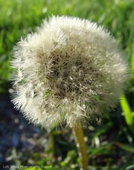 Make a Wish (left wing lucy) Tags: dandelion seeds makeawish littleumbrellas spreadbythewind
