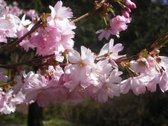 Cherry Blossom in Gothenburg, 2008-04-20 (Sverre Klein) Tags: pink flowers flower nature cherry