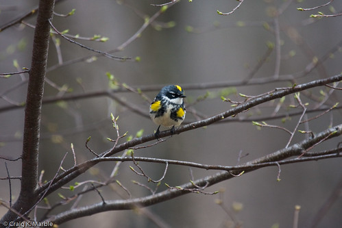 Yellow-rumped Warbler (2 of 2)