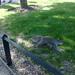 Squirrel in Regent's Park 4