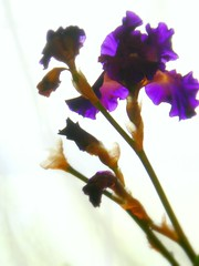 light penetrating the iris (dwiggs) Tags: flowers iris stilllife floral colors experimental purple violet surreal bouquet cutflowers