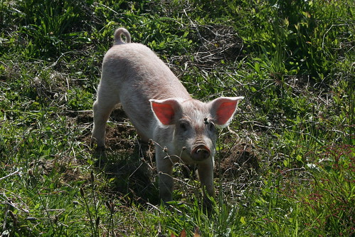 Pigs Bite!