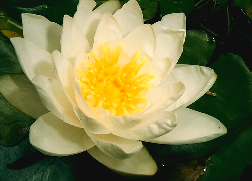 White Pond Water Lily Today