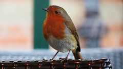 IMG_3476 (steveshaw67) Tags: robin chair heater cafe rufford abbey