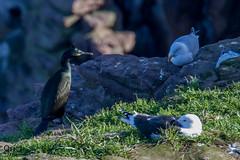 Cap Fréhel (Oric1) Tags: 22 canon cormoran côtesdarmor france argenté armorique breizh bretagne brittany capfrehel eos goéland hiver huppé labous jeanlucmolle ornithologie ornithology bird watching oric1 oiseau