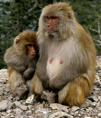 Maan Putter (ZAK!) Tags: trees pakistan hills monkies monky islamabad murre nathiagali abottabad ayoubia hillstationmonky march2009monkymonkymonkymonky