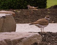 A Pair Of Plovers (JJS Photo) Tags: bird rock newjersey killdeer may nj mercercounty jjsph largebandedplover