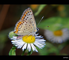 Lycaena alciphron (alfvet) Tags: macro nature closeup nikon butterflies natura bugs sensational ohhh pictureperfect insetti d60 farfalle physis mywinners flickraward diamondclassphotographer flickrdiamond platinumheartaward macromarvels betterthangood goldstaraward excapturemacro flickrestrellas thesuperbmasterpiece natureselegantshots veterinarifotografi nikonflickraward 100commentgroup thebestofmimamorsgroups hebestofmimamorsgroups mygearandme mygearandmepremium mygearandmebronze mygearandmesilver mygearandmegold mygearandmeplatinum mygearandmediamond dblringexcellence flickrstruereflection3 flickrstruereflection4 flickrstruereflection5 flickrstruereflection7 flickrstruereflectionlevel7 rememberthatmomentlevel1 rememberthatmomentlevel2 flickrstruereflectionlevel6