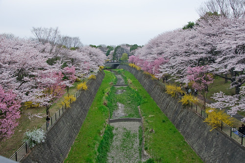 showa kinen sakura trees