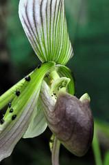 Frauenschuh (Michael Döring) Tags: orchidee bochum d300 frauenschuh botanischergarten querenburg ruhruniversitätbochum michaeldöring afs60microg