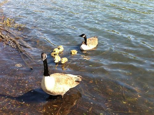 Goslings on Lochend Park