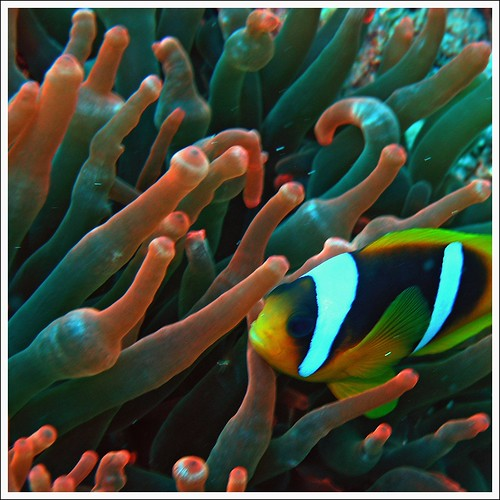 Nemo and anemone in Red Sea by Zé Eduardo...