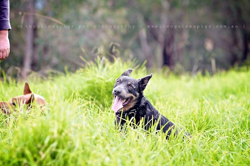 Baxter Baxter the Kelpie, photographed by twoguineapigs pet photography.