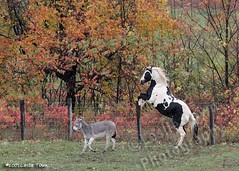 Big vs stubborn (myhorse) Tags: autumn horse color colour fall paint play donkey frisky pinto booker rearing rears blueribbonwinner