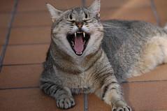13-10-07 006 Badallant / Yawning (visol) Tags: cat gata chatte mixa tickedtabby