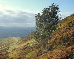 holly tree - moel famau - denbighshire - wales (~ paddypix ~) Tags: autumn colour nature clouds photoshop picasa moodyblues ukandireland iusedpicasa