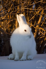 minihare1 (Johan Ylitalo) Tags: animal hare skogshare