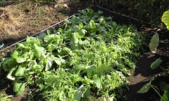 今週の市民農園:水菜と小松菜