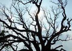 A tree at APTDC Resort (GlimpseOfLight) Tags: shadow sun india tree silhouette vizag araku andhrapradesh visakhapattanam